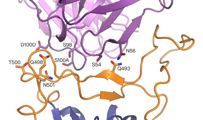 Ansicht eines computergestützten Models in wechselseitiger Wirkung zwischen den Antikörpern (violett) und den Spike Proteinen des Coronavirus SARS-CoV-2 (orange und blau).