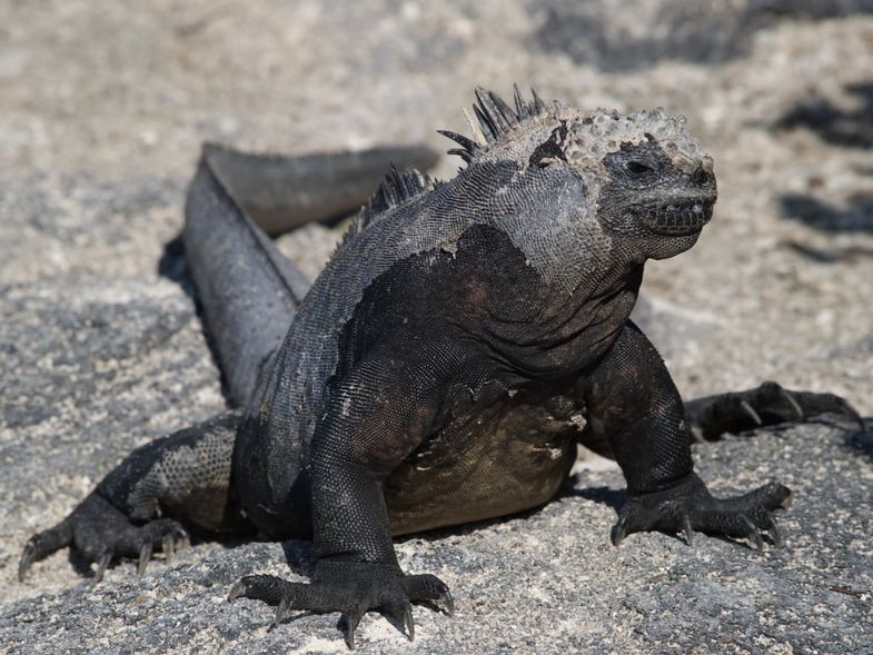 Marine iguanas are only found on the Galapagos Islands.