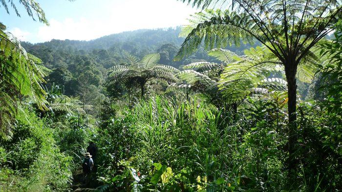 Artenreicher Regenwald im Nationalpark Mount Halimun Salak auf der indonesischen Insel Java.