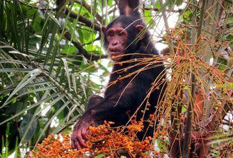 Schimpanse bei der Futtersuche auf einer senegalesischen Dattelpalme.