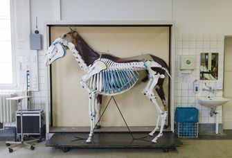 Skelett eines Pferds