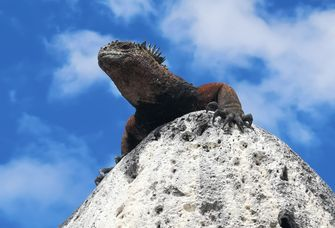 Die Meeresechsen auf den Galápagos-Inseln sind vom Aussterben bedroht.