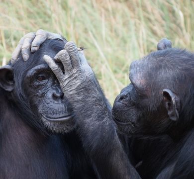 Initial results of the study on short-term memory in primates indicate that closely related species, such as chimpanzees (pictured) and bonobos, performed similarly. Photo: Clara Dubois, Leipzig University, LFE