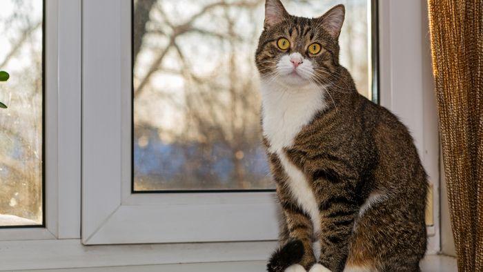 Auch Katzen sollten im Haus bleiben, wenn ihre Besitzer mit Covid-19 infiziert sind.