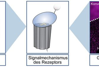 Die Kombination von Ergebnissen aus computer-gestützten, molekularbiologischen und Hochleistungsmikroskopie-Techniken führt zu einem verbesserten Verständnis der Funktion von Adhäsions-GPCRs.